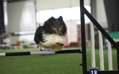 How to overcome distractions in dog agility?