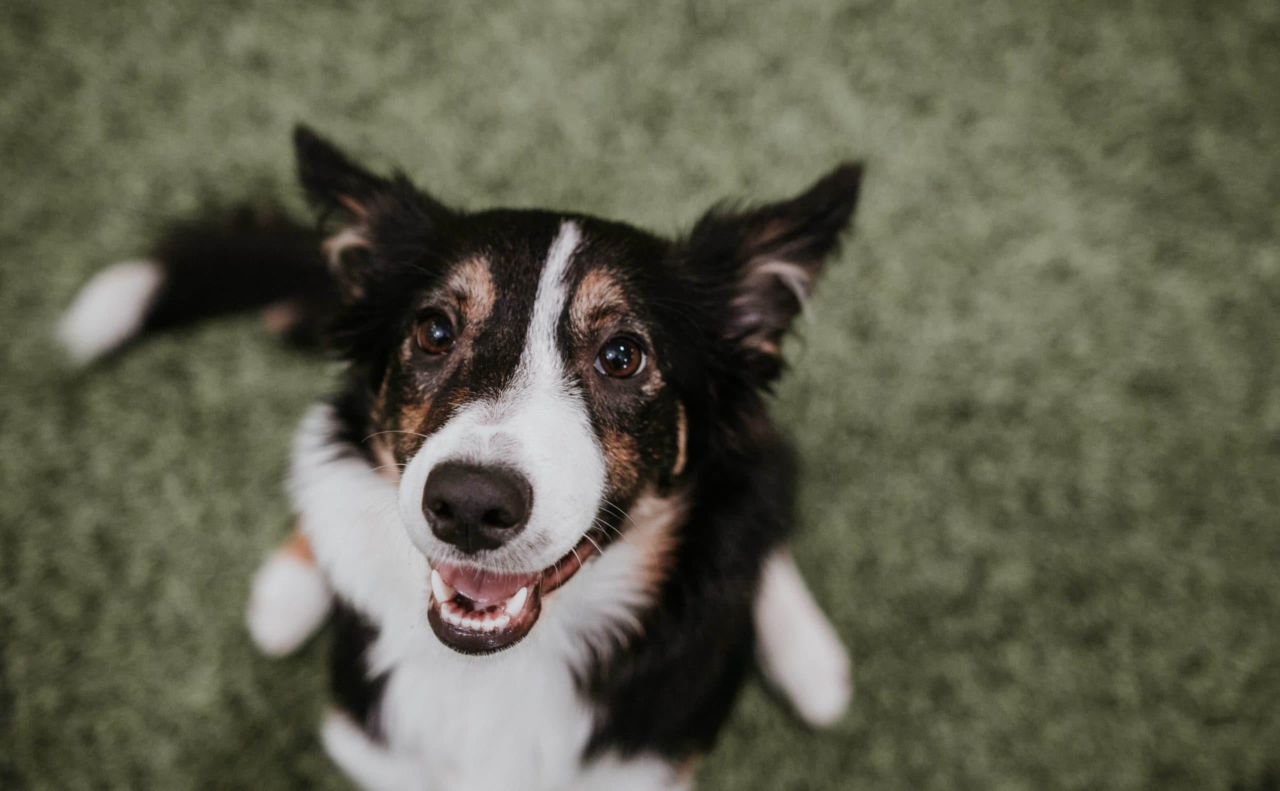 smiling dog agility