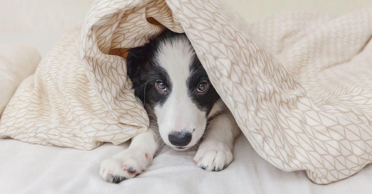 border collie under blanket