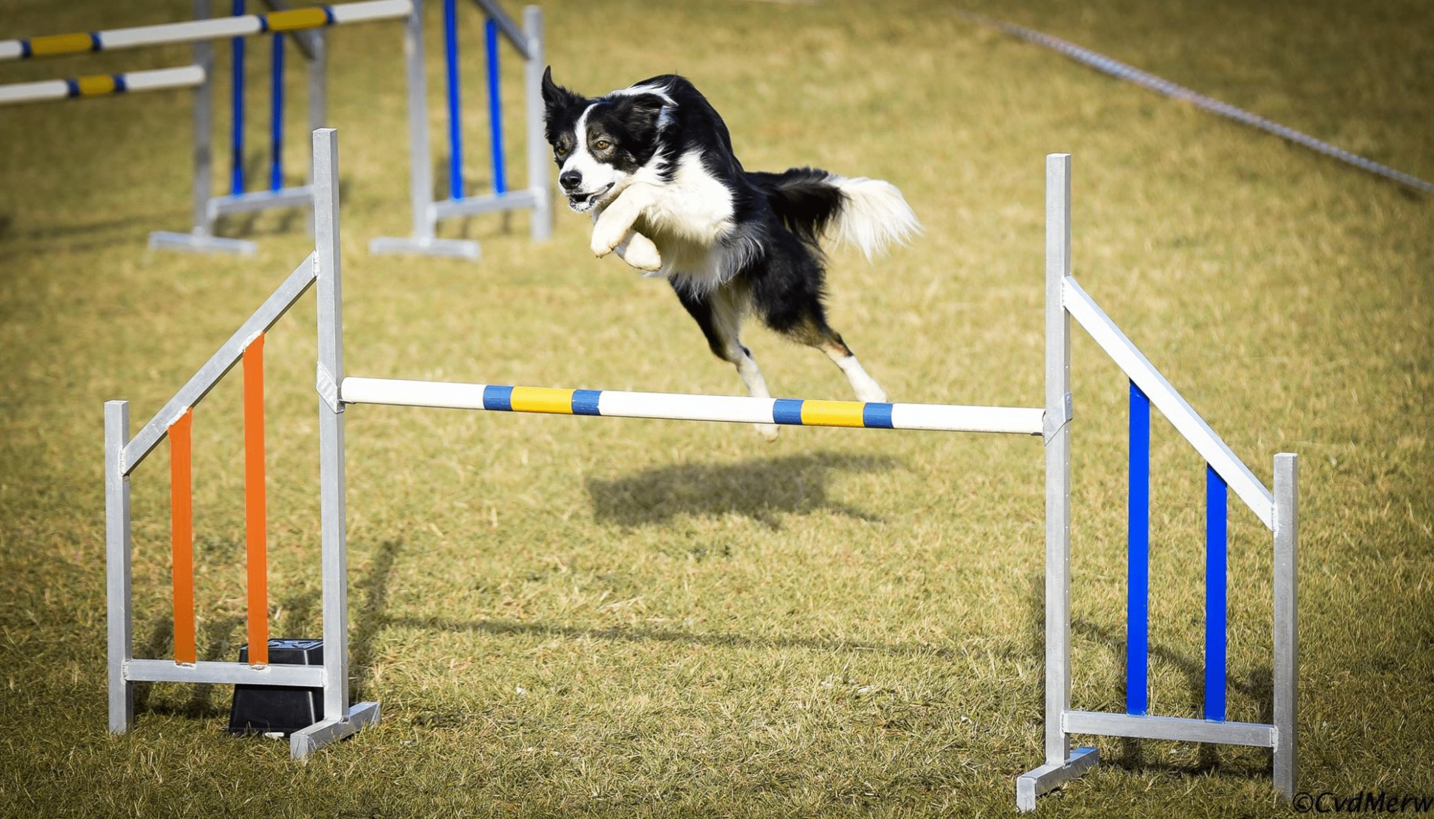 border collie jumping agility